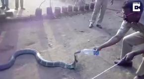 Индийские лесники напоили кобру водой из бутылки