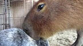 Водосвинка отсасывает уши у кролика