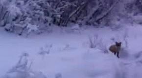 Все любят сникерс. И лисички тоже.