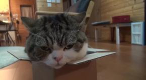 Кот Мару медитирует над коробкой