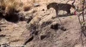 Разборки леопарда и питона