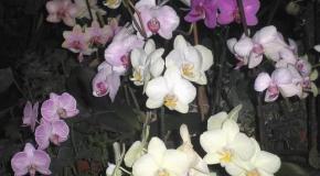 Орхидея. Выращивание и уход.