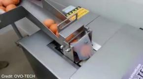 Как машина отделяет белки от желтков в яйцах