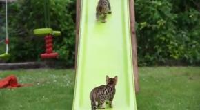 Бенгальские котята играют на детской горке