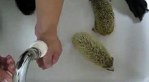 Как правильно помыть ёжиков:))
