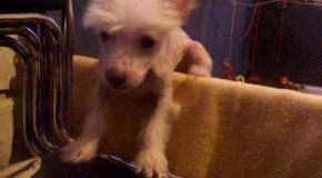 Китайские хохлатые щены хотят за границу. Но бояться:)