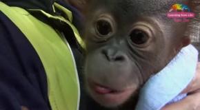 Забавный малыш орангутана.