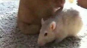 Крысы любят кота