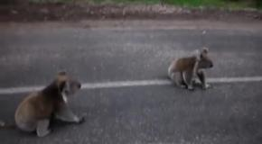 Коалы атакуют парня