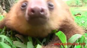Невероятно милый детеныш ленивца