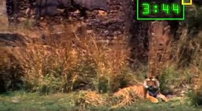 Тигр и крокодил борются за добычу