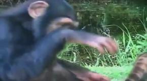 Рысь и шимпанзе стали лучшими друзьями