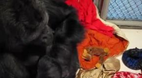 Горилле дали игрушечную обезьянку