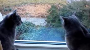 Удивительное взаимопонимание кошек
