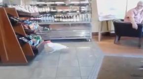 Наглая чайка украла чипсы из магазина