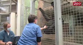 Беременная горилла