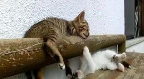 Котенок играет со спящим другом