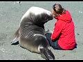 Тюлень влюбился