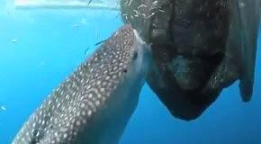 Обед китовой акулы