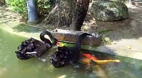 Лебеди кормят рыбок