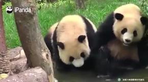Как панда плещется в ванной