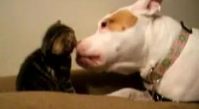 Котёнок и питбуль