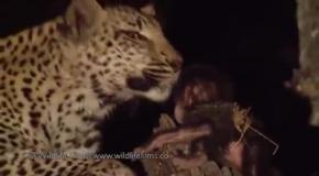 Самка леопарда пригрела малыша бабуина