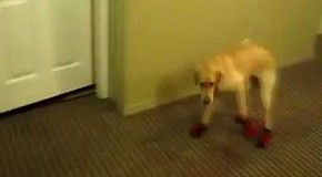 Обутый пес