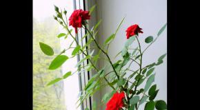 Роза комнатная. Выращивание и уход.