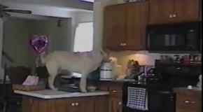 Собаки воришки