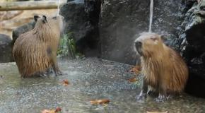 Капибара принимает душ