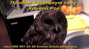 Продам маленькую сову Кривой Рог