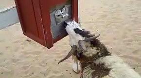 Голодная и очень умная коза