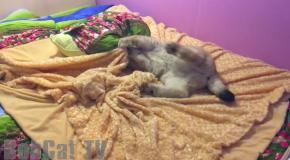Siberian lynx doing somersault