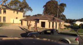 Дикие кенгуру устроили разборки на жилой улице