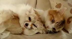 Ушастая лисица и языкатый кот