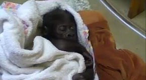 Спящая гориллка Тано