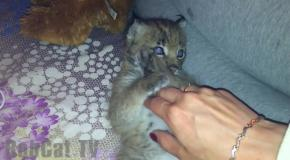 The LYNX KITTEN lying on ITS back and yawns