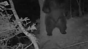 Медведь ночью попался на скрытую камеру