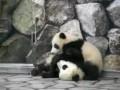 Панды близнецы