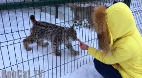 Siberian Lynx feeding  Кормление Мартина с рук