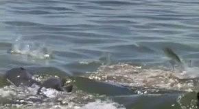 Умные дельфины на рыбалке     Ну надо же     )