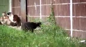 Крыса распугала компанию котов