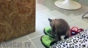 Lynx barking