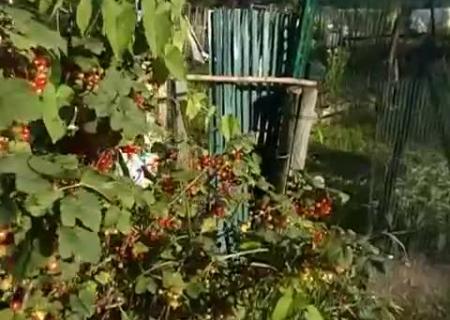 Собирала в огороде мать красную смородину слушать