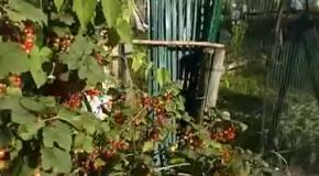 Красная смородина собирать в огород