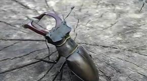Жук-олень. Самый большой жук Европы