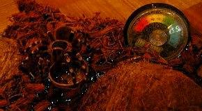 Acanthoscurria geniculata L8