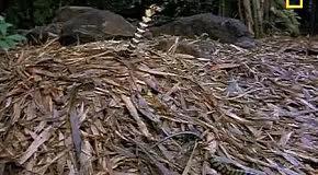 Королевская кобра vs крокодил