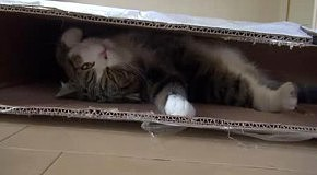 Кот Мару присматривает новую коробку